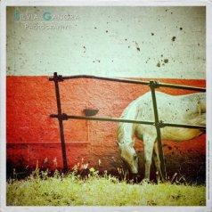 white_horse_dsc_3788-cambag-vinyl-distressed_by_silvia-ganora_-800x600-blue-logo600600